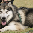 Alaska Malamute dog — Stock Photo #38386151
