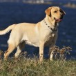 Labrador retriever — Stockfoto