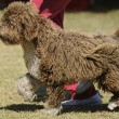 Spanish water dog — Stock Photo #38386235