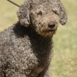 Spanish water dog — Stock Photo #38387671