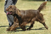 Sussex spaniel — Stock Photo