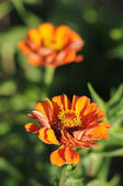 Genus Zinnia — Stock Photo