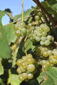 Albarino ブドウ、ブドウの木 — ストック写真