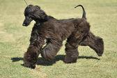 Afghan Hound dog — Zdjęcie stockowe