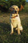 Labrador retriever — Stockfoto