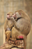 African baboons — Stock Photo