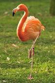 Caribbean Flamingo — Stock Photo