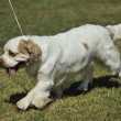 Clumber Spaniel — Stock Photo