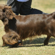 Stock Photo: Sussex spaniel