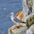Stock Photo: Yellow-footed seagull in nature
