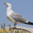 Yellow-footed seagull in nature — Stock Photo #38964143