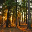 Forest sunlight rays — Stock Photo