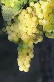 Albarino grapes and vines — Stock Photo