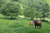 Breeding cattle and mountain areas — Stock Photo