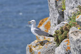 Yellow-footed seagull in the nature — Stock Photo