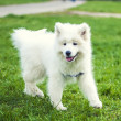 White Samoyed dog on green meadow — Stock Photo
