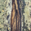 Stock Photo: Grungy cracked natural tree texture