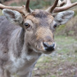 Stock Photo: Fallow deer in forest