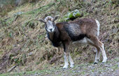 Wild sheep in forest — Stock Photo