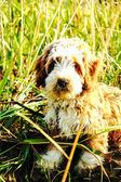Lurvig hund — Stockfoto