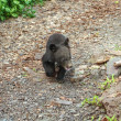 Stock Photo: Himalaybear cub