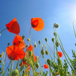 Poppies — Stock Photo #38205469