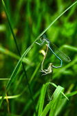 Dragonflies in love — Stock Photo