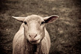 Portrait of sheep — Stock Photo
