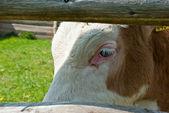Sad calf — Foto Stock