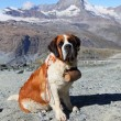 Dog on Matterhorn mountain — Stock Photo