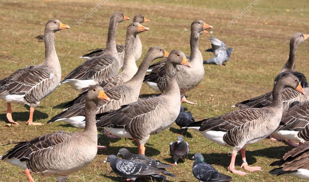 What Is A Group Of Geese Called 53