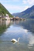 Sjön Hallstätter med swan simning — Stockfoto