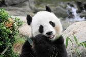 美しいパンダ — ストック写真