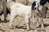 Lovely baby goat — Zdjęcie stockowe