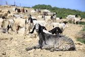 Lovely goats in Sicily — Stock Photo