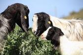 Lovely goat family — Stock Photo
