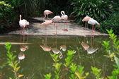 Grupo de flamingos — Fotografia Stock