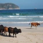 Stray cows at Sai Kung beach — Stock Photo #51566959