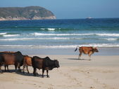 Stray cows at Sai Kung beach — Stock Photo