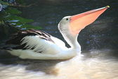 Lovely pelican — Photo