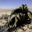 Welwitschia — Stock Photo #38016691