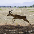 Jumping antelope — Stock Photo #38025569