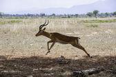 Jumping antelope — Stock Photo