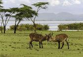 Fighting Antilopes — Stock Photo
