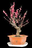 Flor de ameixa — Foto Stock