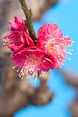 Flor del ciruelo — Foto de Stock