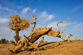 Death Populus euphratica — Stock Photo