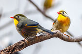 Red-billed — Stock Photo