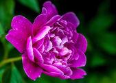Fresh pink peony — Stock Photo