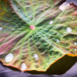 Stock Photo: Mystical Lotos Leaf